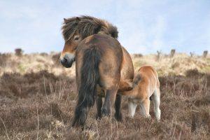 Divocí koně z Exmooru