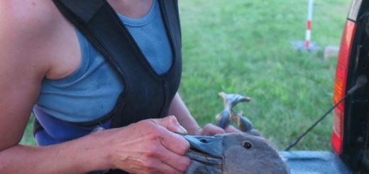Labutí mládě s vlascem v trávicím traktu, zdroj: DESOP