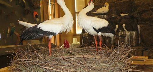 Hnízdo čápa bílého v Národním muzeu